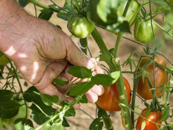 Обрывать помидор в теплице: как правильно обрезать листья у томатов, видео, когда удалять и подрезать в парнике