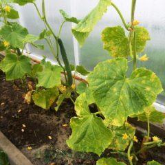 Посадка огурцов семенами в теплице: лучшие голландские парники, какое самое выращивание, видео и как вырастить