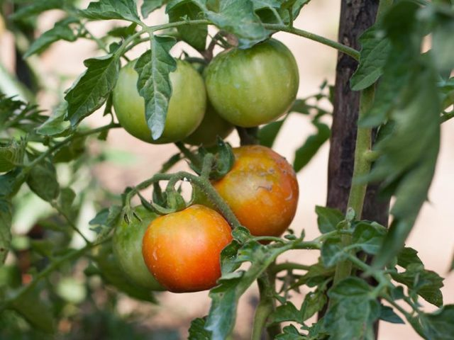 Почему помидоры не краснеют в теплице: что делать чтобы быстрее спели, что сделать если плохо томаты наливаются