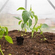 Болгарский перец в теплице: выращивание перца сладкого, уход, лучшие сорта, посадка в парнике