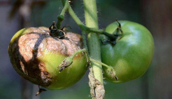 В теплице чернеют помидоры: почему и что делать, листья почернели, снизу кончики в парнике, томаты