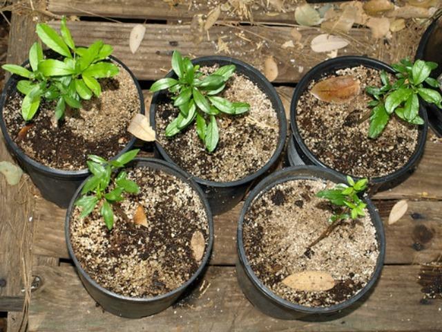 Выращивание комнатного граната, особенности ухода в домашних условиях