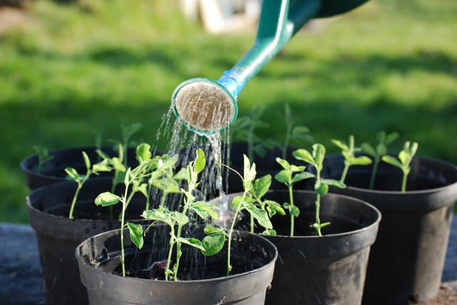 Уход за перцем в теплице из поликарбоната: выращивание и посадка в парнике правильно, видео
