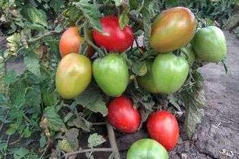 Сорта крупных помидор для теплиц: крупноплодные томаты, как вырастить низкорослые, лучшие самые в Сибири