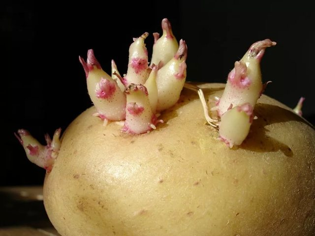 Сорт картофеля Барин, описание, характеристика и отзывы, а также особенности выращивания