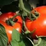 Сорта перцев для теплицы: лучший и ранний, сладкий, для Сибири, высокорослые в Подмосковье, урожайные