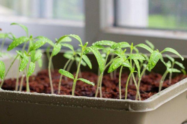 Как вырастить хороший урожай помидоров в теплице: получить урожайность томатов большую, увеличить видео