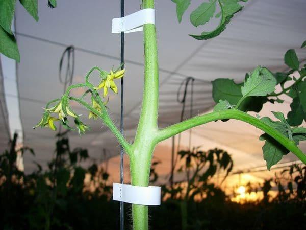Помидоры в теплице выращивание формирование куста: правильное видео, для томатов схема = детерминантных