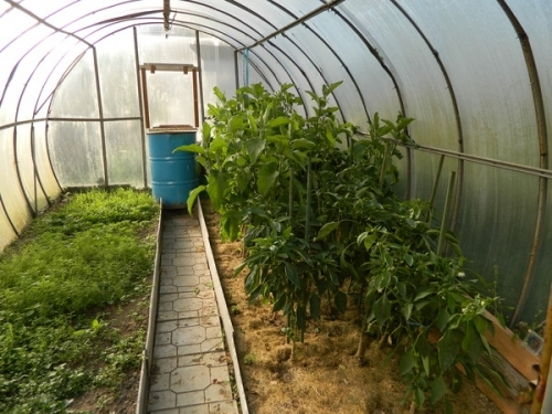 Сидераты в теплице: осенью и весной сеять, сажать, посев, какой лучше поликарбонат