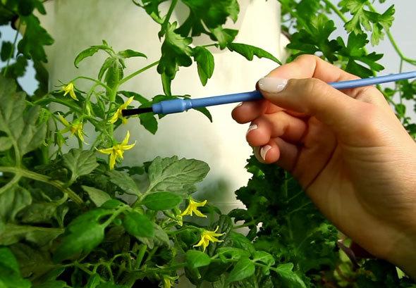 Семена помидор для теплицы самоопыляемые