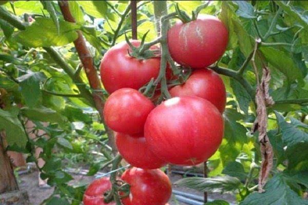 Какие сорта помидор самые урожайные для теплиц: томаты высокоурожайные желтые, отзывы лучшие, вкусные