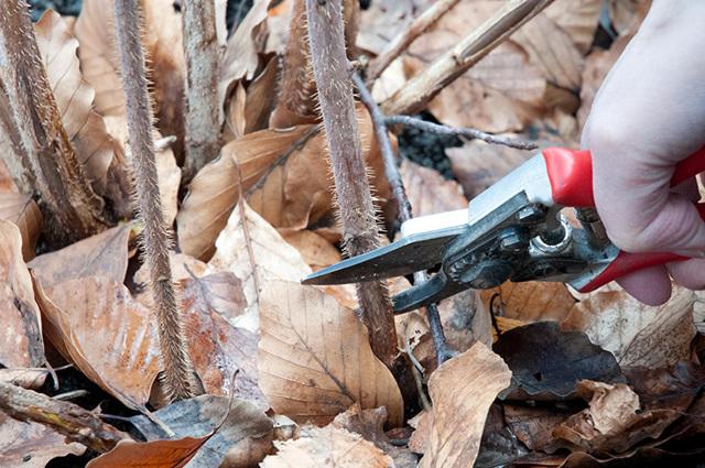 Как обрезать малину летом и осенью — правила обрезки для начинающих в картинках