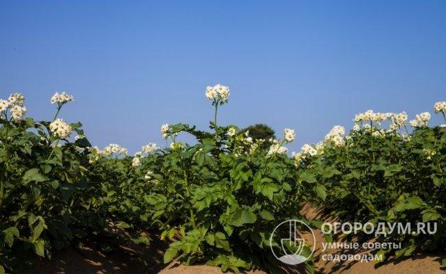 Сорт картофеля Удача: описание, фото, характеристика и отзывы, а также особенности выращивания