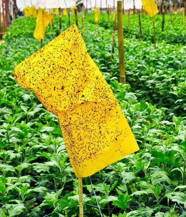 Белокрылка в теплице как избавиться: бороться, средство для огурцов осенью, уничтожить, методы народной обработки