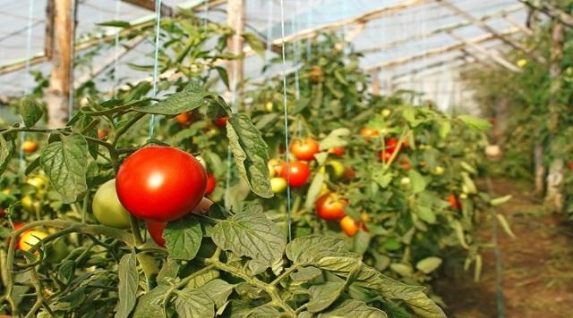 Температура для помидор в теплице: как высаживать в парник рассаду, оптимальные условия для томатов и почвы