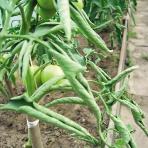 Скручиваются листья у помидоров в теплице: томаты почему закручиваются, что делать если сворачиваются внутрь