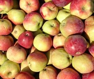 Ранние сорта яблонь: подборка с описанием и характеристиками, достоинства и недостатки, фото яблок