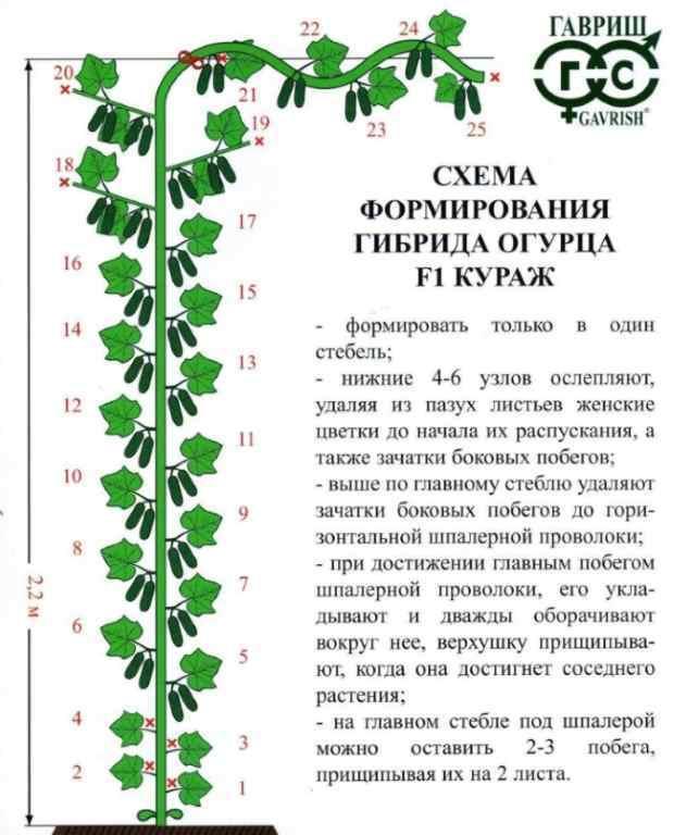 Огурцы в теплице для начинающих: выращивание и видео, правильный уход в парнике, агротехника Кураж на Урале