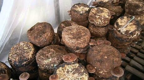 Теплица для разведения грибов: выращивание 8, белые и шампиньоны, вешенки и лисички, Трюфель круглый год