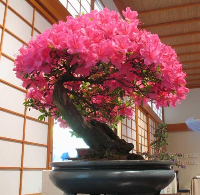 Японское дерево бонсай: сакура, семена кедра и сосны, фото карликовых деревьев, выращивание белой, sakura уход