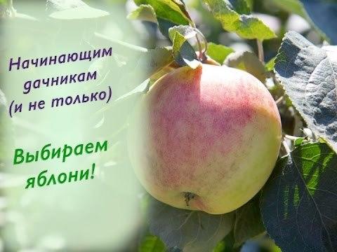Лучшие сорта яблонь для Подмосковья и Московской области: подборка с описанием и фото