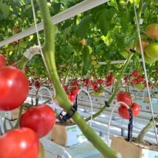 Помидоры в парнике: теплица для начинающих, томаты и фото, плодоношение своими руками, видео и большие Синьор