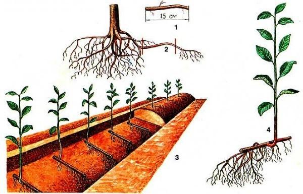 Как правильно посадить сливу саженцами, порослью, черенком, наглядные инструкции