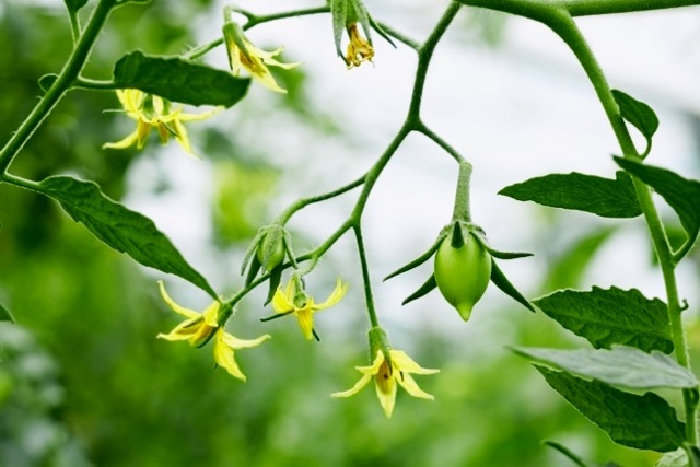 почему опадают цветы у помидор в теплице