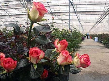 Выращивание роз в теплице: цветы как выращивать для продажи, уход и технология своими руками, Экибастуз и фото