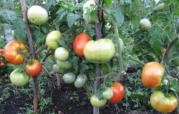 Сорта томатов для северо-западного региона России: описание, характеристика и отзывы, выращивание