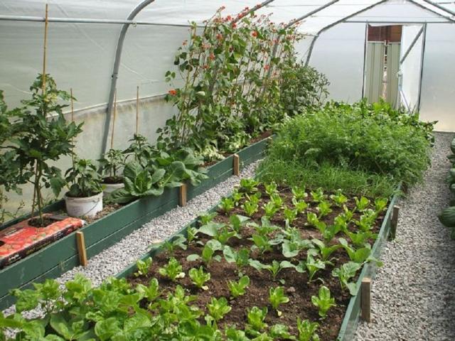 Что можно сажать вместе в одной теплице: смешанные посадки из поликарбоната, видео и соседство овощей