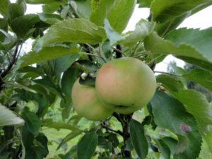 Сорт колоновидной яблони Президент, описание, характеристика и отзывы, а также особенности выращивания данного сорта