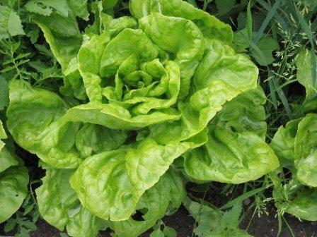 Салат Айсберг выращивание в теплице: зимой на продажу, круглый год, посев и посадка, сажать Кресс, сорта ранние