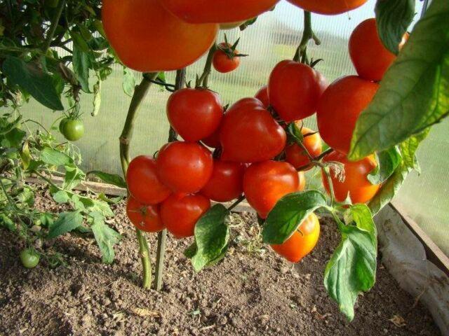 Как прищипывать помидоры в теплице: прищипка правильная, что для томатов нужно