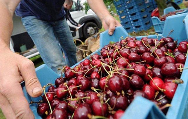 Сорт вишни Чудо вишня, описание, характеристика и отзывы, особенности выращивания