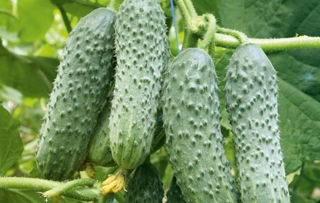 Самоопыляемые сорта огурцов для теплицы: ранние семена как опылять, высокоурожайное опыление парников в Украине