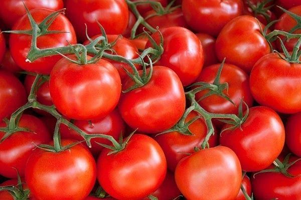 Борьба с фитофторой на помидорах в теплице: как бороться, устойчивые сорта томатов, чем обработать и профилактика