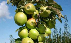 Колоновидные яблони: описание и характеристика сорта, в том числе в Сибири + фото и отзывы