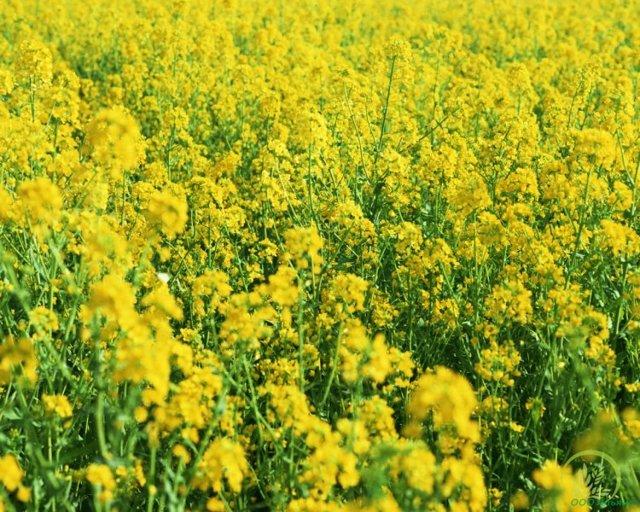 Работа в теплице осенью: как посадить горчицу, как сажать и делать выращивание, сбор урожая и удобрить землю