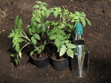 Посадка помидоров в теплицу требует грамотного подхода: как сажать правильно, посадить томаты и высаживать