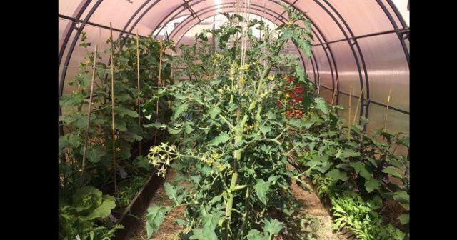 Помидоры жируют в теплице: что делать, томаты и жирование