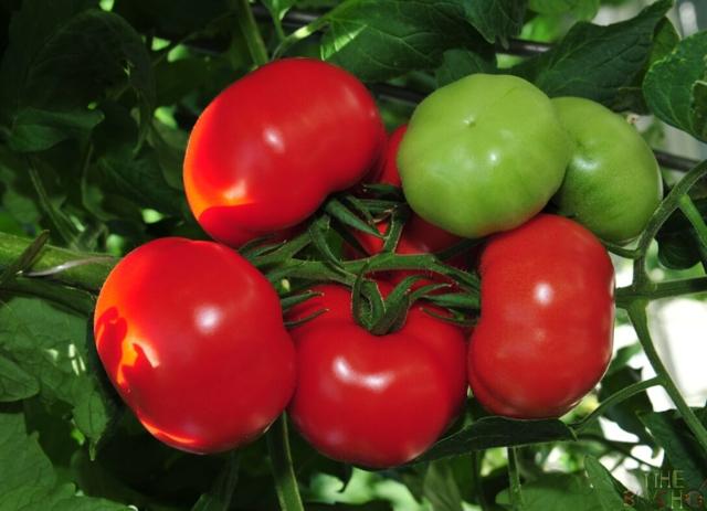 Семена помидоров для теплиц: лучшие и хорошие томаты, какие сажать при посадке семян, новые сорта как выбрать