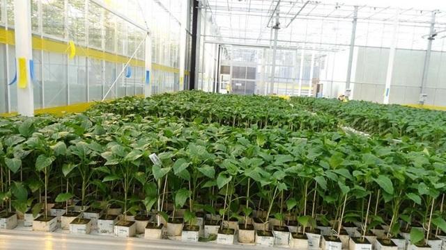 Сажать вместе огурцами теплице: что посадить в одной и как выращивать баклажаны, совместимость