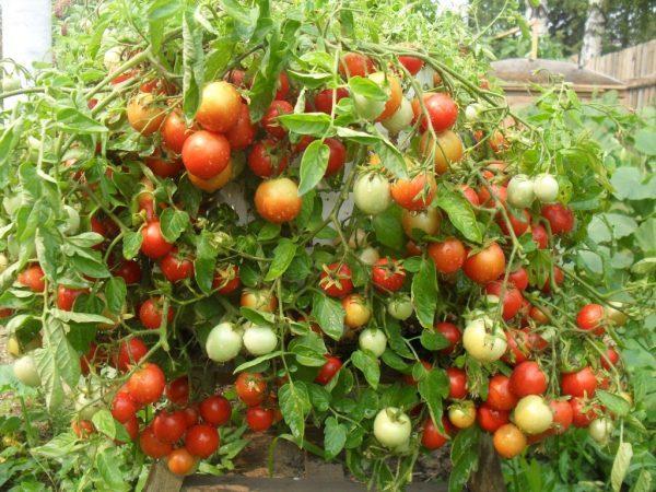 Ранние сорта помидоров для теплиц: томаты самоопыляемые, самые суперранние, супер ультраранние и раннеспелые