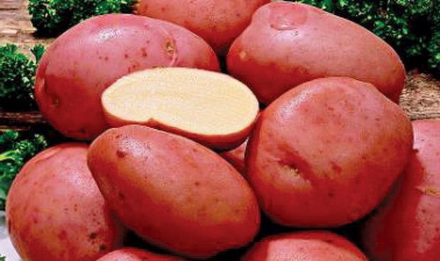 Сорта картофеля для Сибири с описанием, характеристикой и отзывами, а также особенности выращивания в данном регионе