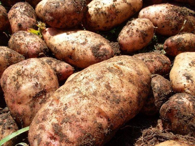 Сорт картофеля Лапоть, описание, характеристика и отзывы, а также особенности выращивания