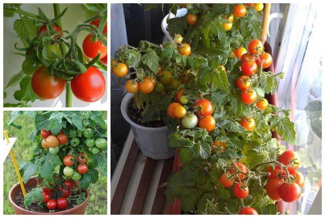 Балконные помидоры: чудо как вырастить, томат и отзывы дома, пошагово комнатные Черри, размер горшка и уход