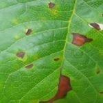 Обработка сливы от болезней и вредителей, в том числе как обработать весной, чем и когда опрыскивать