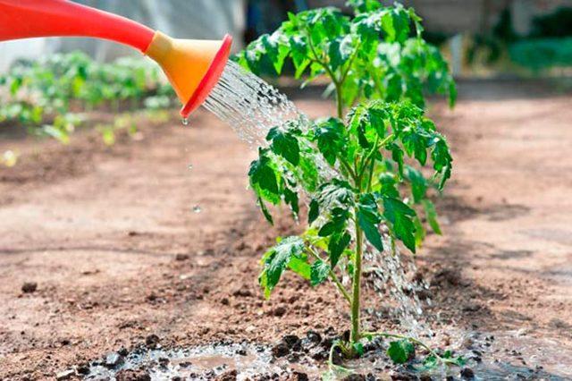 Трескаются помидоры в теплице: почему при созревании лопаются и растрескиваются томаты, красные в парнике
