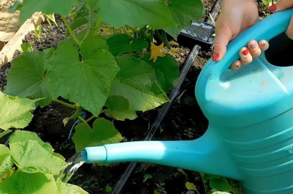 Как поливать огурцы в теплице: часто и правильно, полив капельный, пластиковые бутылки нужны, в парнике рассада